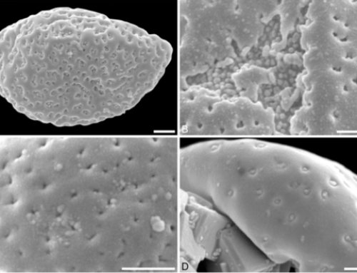Tiny pollen grains: first evidence of Saururaceae from the Late Cretaceous of western North America – 2017