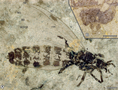 Bibionidae (Diptera) from the late Miocene of Hrútagil (Mókollsdalur), Iceland – 2017