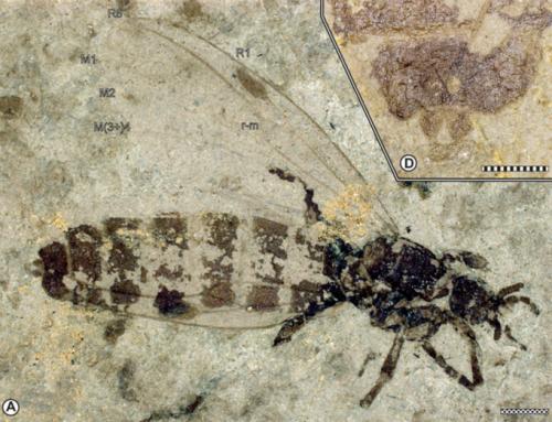 Bibionidae (Diptera) from the late Miocene of Hrútagil (Mókollsdalur), Iceland – 2017