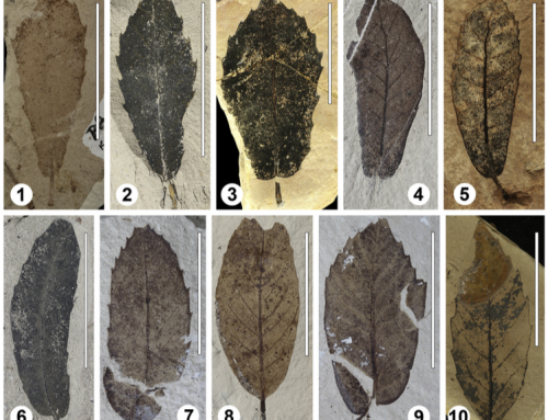Taxonomy and palaeoecology of two widespread western Eurasian Neogene sclerophyllous oak species: Quercus drymeja Unger and Q. mediterranea Unger – 2017