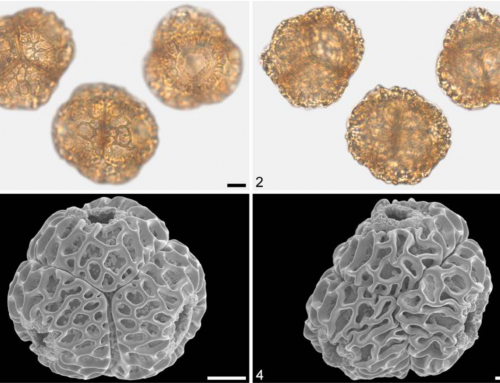 Pollen morphology of extant Winteraceae: a study allowing SEM-based affiliation of its fossil representatives –2017