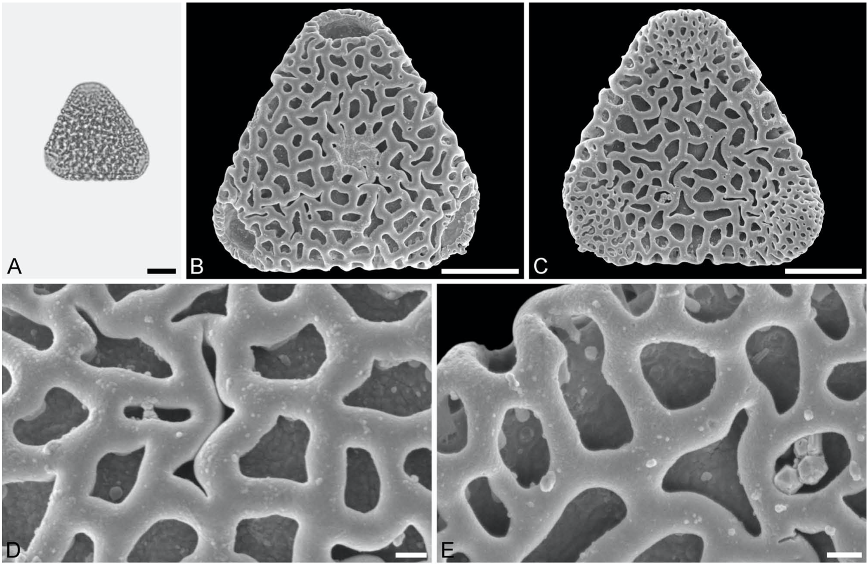 Sclerosperma fossils from the late Oligocene of Chilga, north-western Ethiopia – 2019