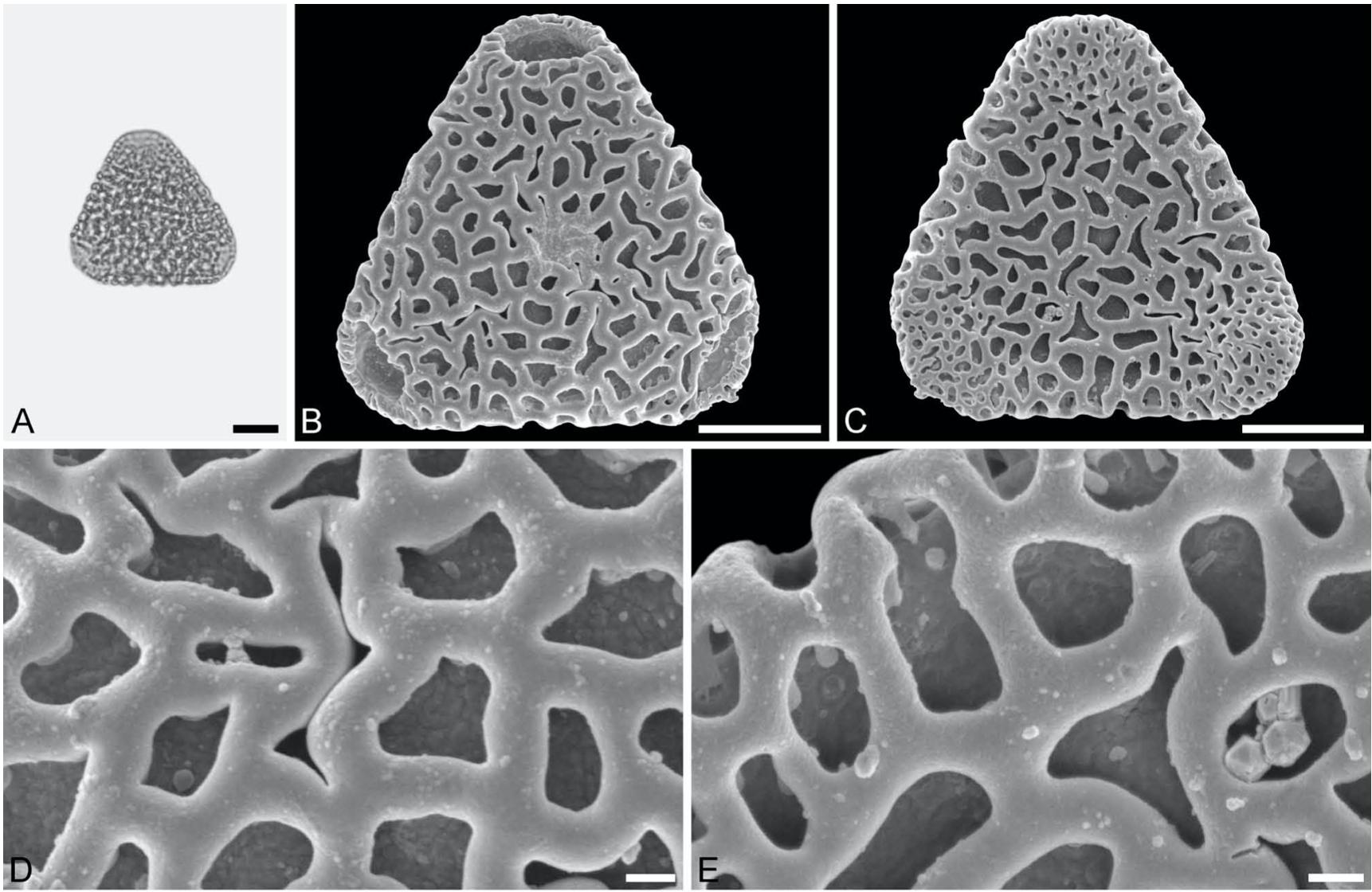 Sclerosperma fossils from the late Oligocene of Chilga, north-western Ethiopia – 2019