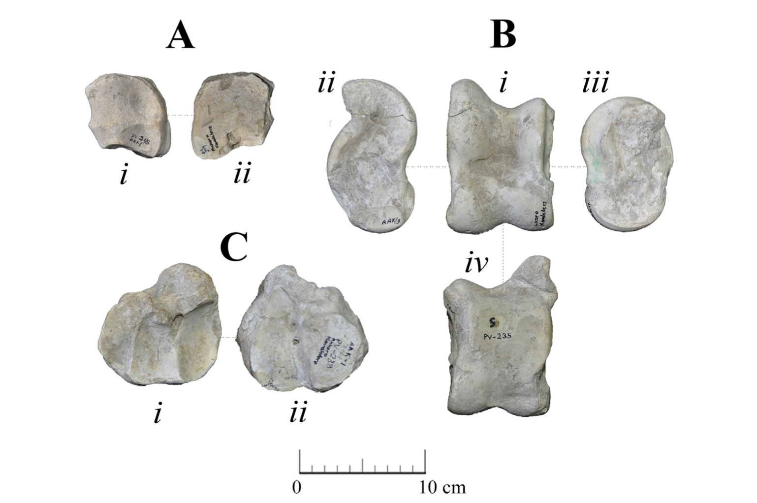 Fossil Giraffidae (Mammalia, Artiodactyla) from the early Turolian of Kavakdere (Central Anatolia, Turkey) – 2019